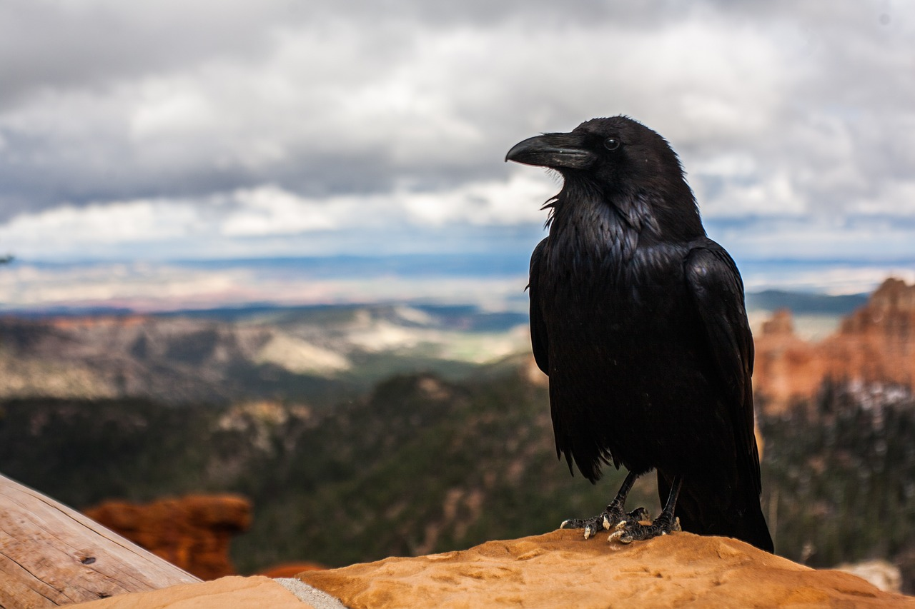 Crows and ravens as totems crow biocorpaavc
